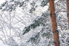 Snow-covered branches of tall pine with light trunk. Winter in the forest. Snow-covered branches of high pine. In the foreground the trunk with a light brown Stock Image