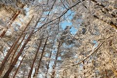 Winter forest with snow-covered branches of trees. fairy beauty. Winter forest with snow-covered branches of trees. fairy beauty Stock Photos