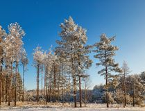 Winter forest with snow-covered branches of trees. fairy beauty. Winter forest with snow-covered branches of trees. fairy beauty Royalty Free Stock Photography