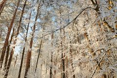 Winter forest with snow-covered branches of trees. fairy beauty. Winter forest with snow-covered branches of trees. fairy beauty Royalty Free Stock Images