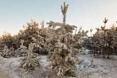 Winter forest with snow-covered branches of trees. fairy beauty. Winter forest with snow-covered branches of trees. fairy beauty Royalty Free Stock Image