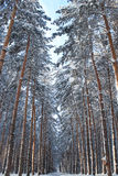 Winter forest. Winter snow-covered coniferous forest coniferous forest Stock Images