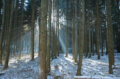 Winter Forest. Forest with snow covered floor and sun rays Royalty Free Stock Photo