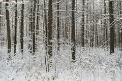Winter forest. Snow-covered pine trunks and the grass under them Royalty Free Stock Photography