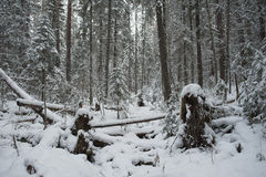 Winter in the forest Stock Photography