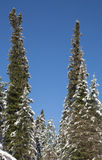 Winter forest, snow covered trees, spruce. Royalty Free Stock Images