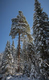 Winter forest, snow covered trees, spruce. Royalty Free Stock Image