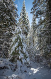 Winter forest, snow covered trees, spruce. Royalty Free Stock Photos