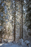 Winter forest, snow covered trees, spruce. Royalty Free Stock Photo