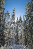 Winter forest, snow covered trees, spruce. Stock Image