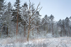 Winter forest in snow Royalty Free Stock Photo