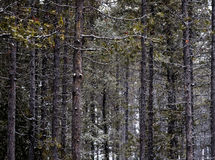 Winter Forest During Snow fall with Snowflakes Falling Stock Photography