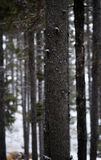 Winter Forest During Snow fall with Snowflakes Falling Royalty Free Stock Photo