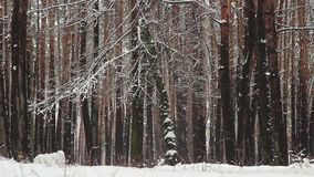 Winter forest. Snow falling from trees in park. Calm nature landscape. Stock footage stock footage