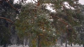 Winter forest, snow falls on the branches of fir, the wind shakes the trees in the forest. stock footage