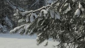 Winter forest. Snow falls. stock footage