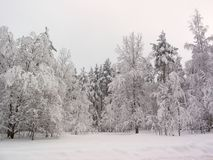 Winter forest. Snow field. Birches Royalty Free Stock Images