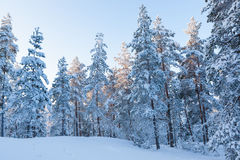 Winter forest and snow in finland Royalty Free Stock Images