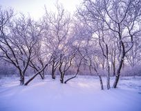 Winter forest in snow with frost Stock Images