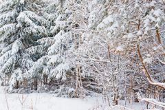 Winter forest with snow. And hoarfrost on trees royalty free stock images