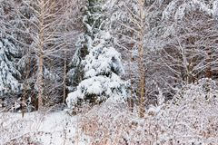 Winter forest with snow. And hoarfrost on trees royalty free stock image