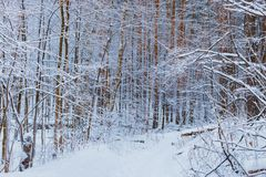 Winter forest with snow. And hoarfrost on trees stock photos