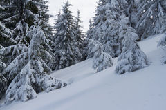Winter forest in snow with lot of fir-tree.  stock images