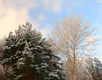 Winter forest in snow Royalty Free Stock Image