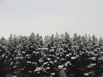 Winter forest in snow Royalty Free Stock Photos