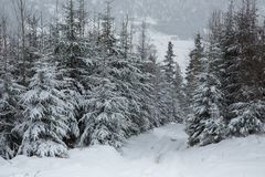 Winter forest in snow. Mountain landscape with a footpath. Sunny day and frosty weather Royalty Free Stock Photo