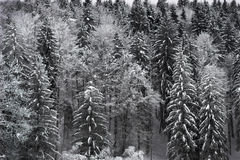 Winter forest. Forest in the winter with snow perched on tree branches Royalty Free Stock Photos
