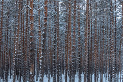 Winter forest snow pine trunks Stock Photos