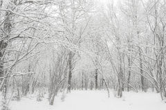 Winter forest in snow. Russia, december. Winter forest in snow. Russia december. High key Royalty Free Stock Images