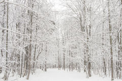 Winter forest in snow. Russia, december. Winter forest in snow. Russia december. High key stock photography