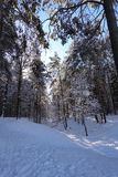 Winter forest in the snow. Sunny frosty day.  royalty free stock image