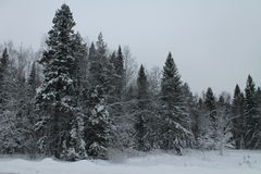 A winter forest Royalty Free Stock Images