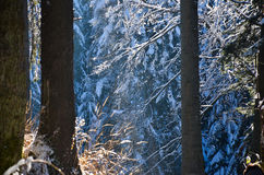 Winter into the forest, with snow on the trees Royalty Free Stock Images
