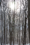 Winter Forest snow white beeches.  Royalty Free Stock Photo