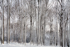 Winter Forest snow white beeches.  Stock Image