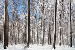 Winter Forest snow white beeches.  Stock Photos