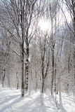 Winter Forest snow white beeches.  Stock Images