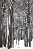 Winter Forest snow white beeches.  Stock Photo