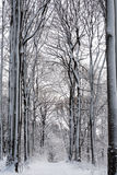 Winter Forest snow white beeches.  Royalty Free Stock Images