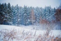 Winter forest with snow. And hoarfrost on trees royalty free stock photography