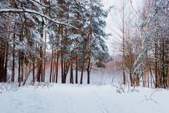 Winter forest with snow. And hoarfrost on trees stock image