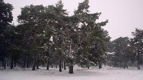 Winter Forest Snowfall in the forest, snow falling on the trees the wind. stock footage