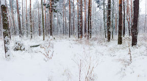 Winter forest during a snowfall Royalty Free Stock Image
