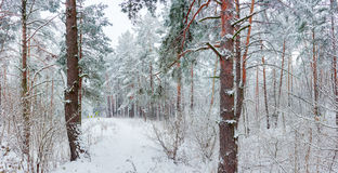 Winter forest during a snowfall Stock Photos