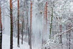 Winter forest during a snowfall Stock Photography