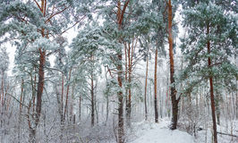 Winter forest during a snowfall Royalty Free Stock Images